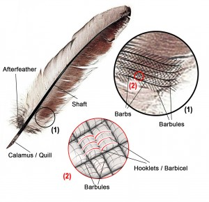 labeled feather diagram