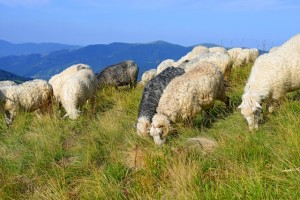 Ewes grazing on a hill