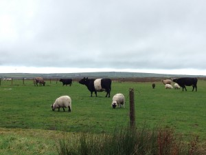 Mixed Grazing on Bodmin Moor