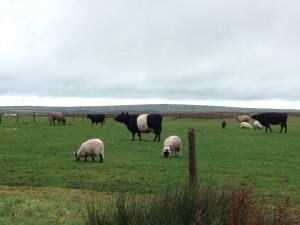 Mixed Grazing on Bodmin Moor