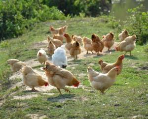 Outdoor hens