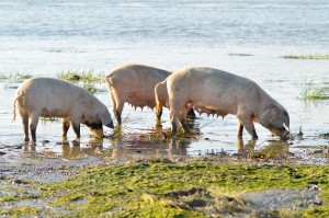 Waterlogged soils can lead to a softening of feet increasing the risk of injury and infection