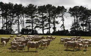 SheepatPasture