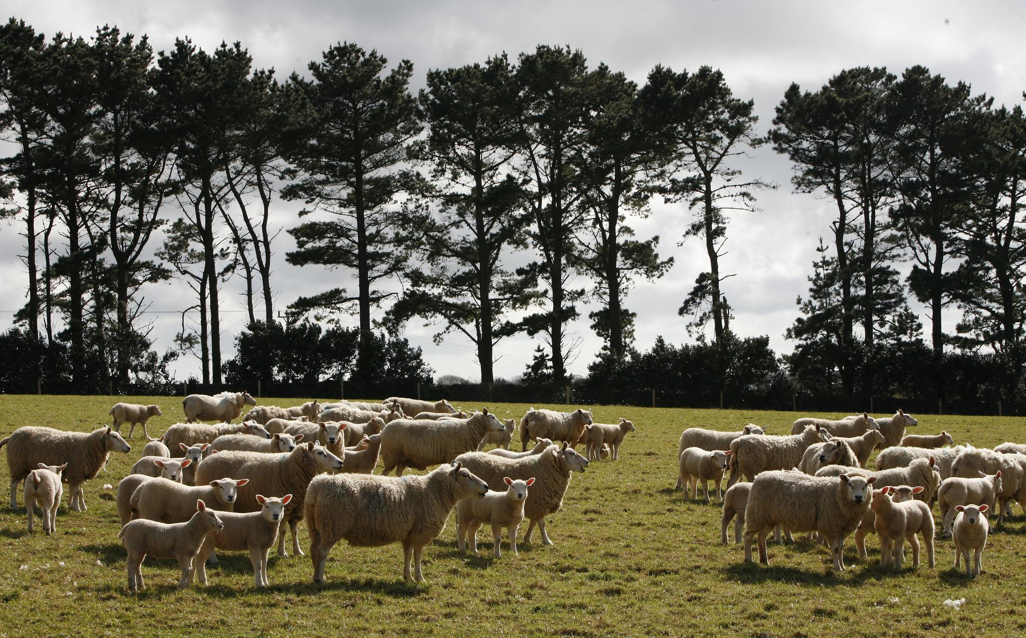 Sheep Behaviour Facts – Get to Know The Basics