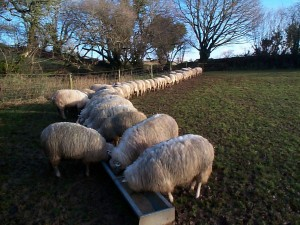 lambs at trough2