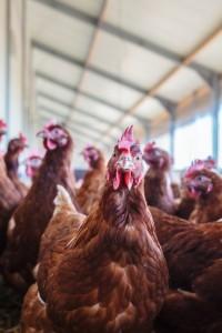 Intensive hens