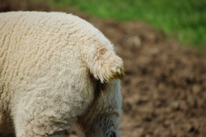 LambBreech