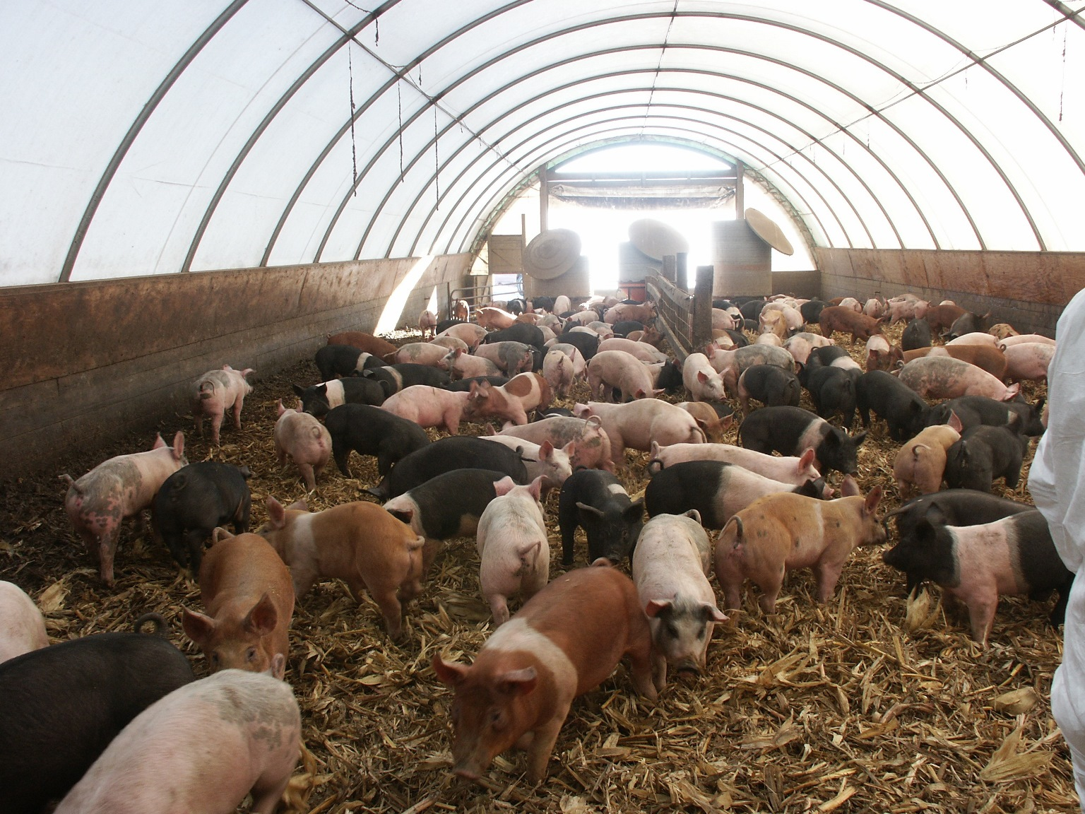Code of Practice for the Care and Handling of Pigs