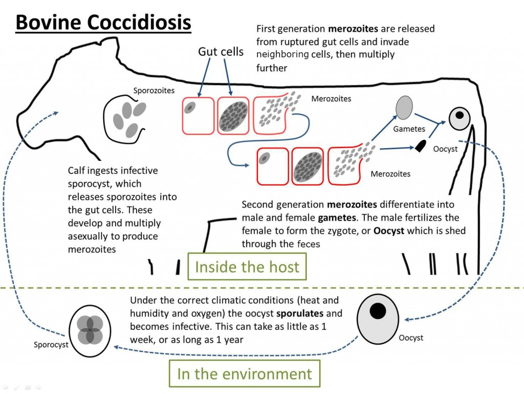 US Bovine coccidiosis life cycle