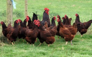 All brown/red strains of poultry descend from Rhode Island Red (from www.merrybower.co.uk)