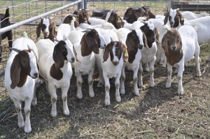 Group of young male Boer goats