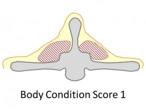 Goat body condition score 1 is very thin. There is a barely any fat cover, the spine is prominent and sharp. The fingers easily pass over the sharp transverse process.