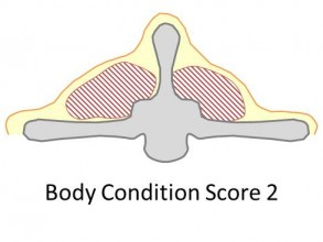 Goat body condition score 2 is lean. There is a thin layer of fat cover, the spine is prominent but smooth.