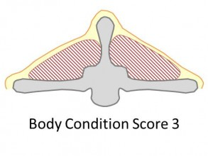 Goat body condition score 3 is good. There is moderate back fat cover, the spine is smooth and rounded.