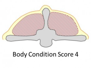 Goat body condition score 4 is fat. There is a thick cover of fat over the back of the animal, and the spine is barely detectable.