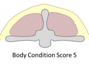 Goat body condition score 5 is obese. There is a thick cover of fat over the back of the animal hiding the shape of the spine.