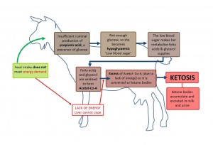 Negative energy balance in goats
