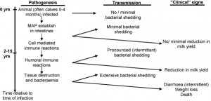 Schematic presentation of various stages of MAP infection and their effects Nielsen and Toft 2008
