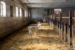 isolated goat small