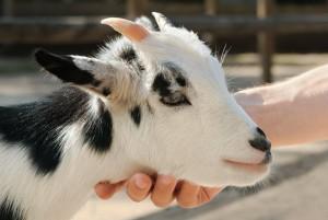Check goat lymph nodes