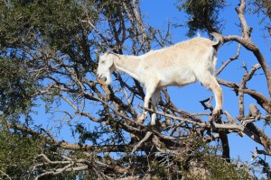 Goat Browsing In Tree