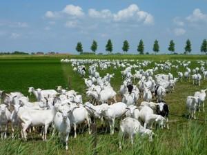 Goatsgrazing