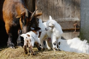 Nanny and kids outside barn