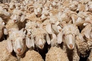 Angora goat breed