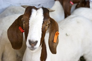 goat with ear tags
