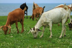 Goats grazing short pasture are at risk of parasitic gastroenteritis.